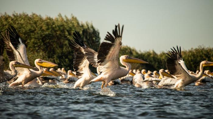 Pelicans in the Danube Delta, Photo by Florin Tomozei.
